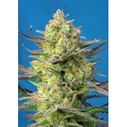 Sweet Cheese XL Auto® 3 semi
